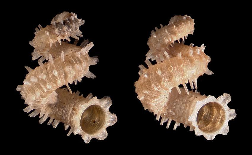 Cuban land snail Blaesospira echinus, endemic to the region. What a beaut! #MolluscMonday http://t.co/BSuurRLybp