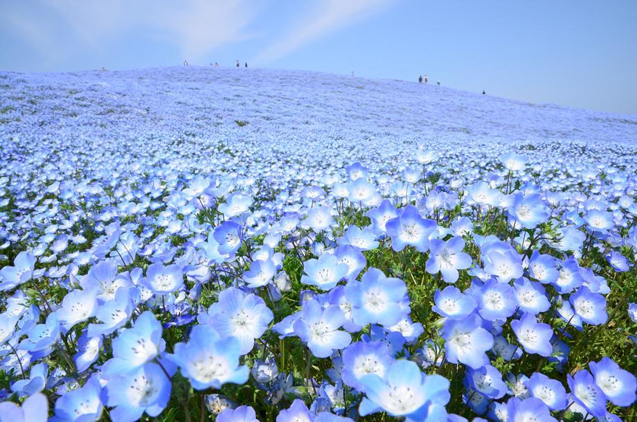【ネモフィラハーモニー】 死ぬまでに行きたい!世界の絶景にも紹介された『ネモフィラハーモニー』が国営ひたち海浜公園で、4月25日から5月17日まで開催されます!開花情報は→http://t.co/0Njw1GvSks #ibaraki http://t.co/l6ft46jRHm