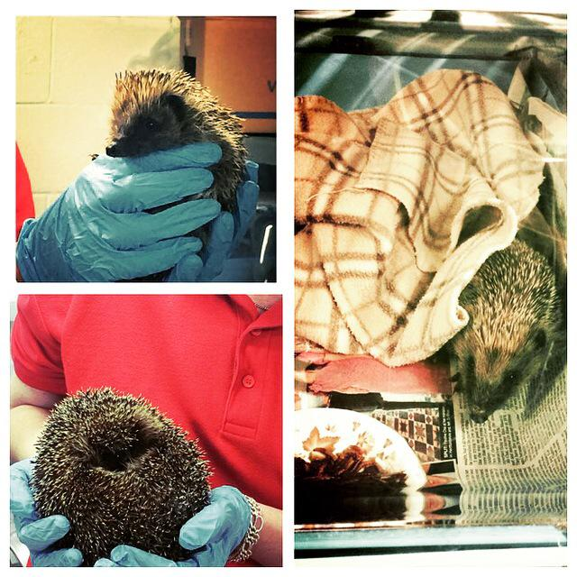 Huge thanks to @PricklesR for introducing us to some rescued #hedgehogs this weekend #fundraising #charity http://t.co/rjRzgWBxfr