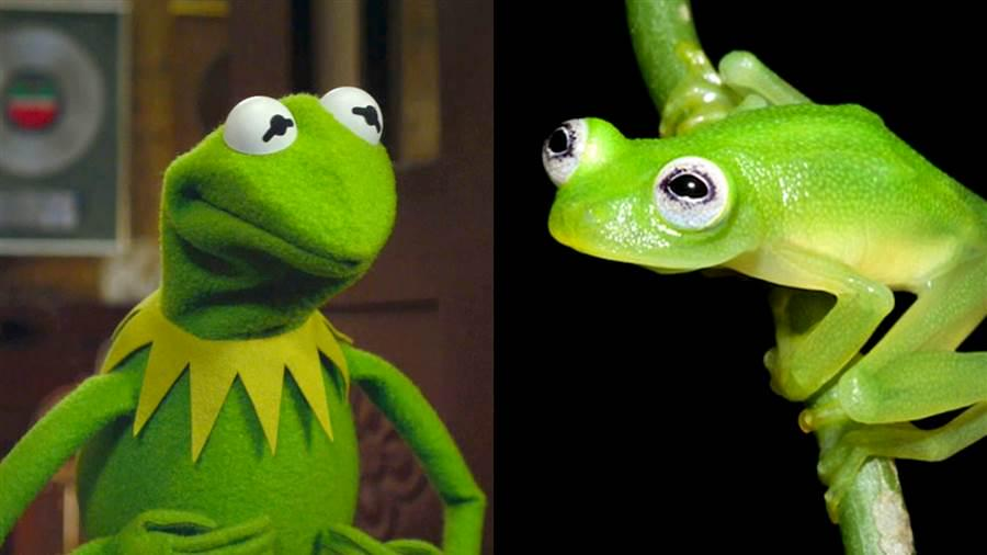 New species of frog discovered in Costa Rica which looks remarkably like Kermit the frog http://t.co/1LjmChmPk0