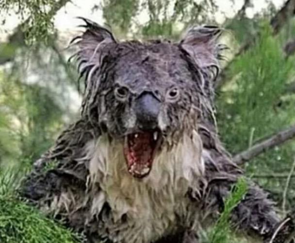 angry koala essay
