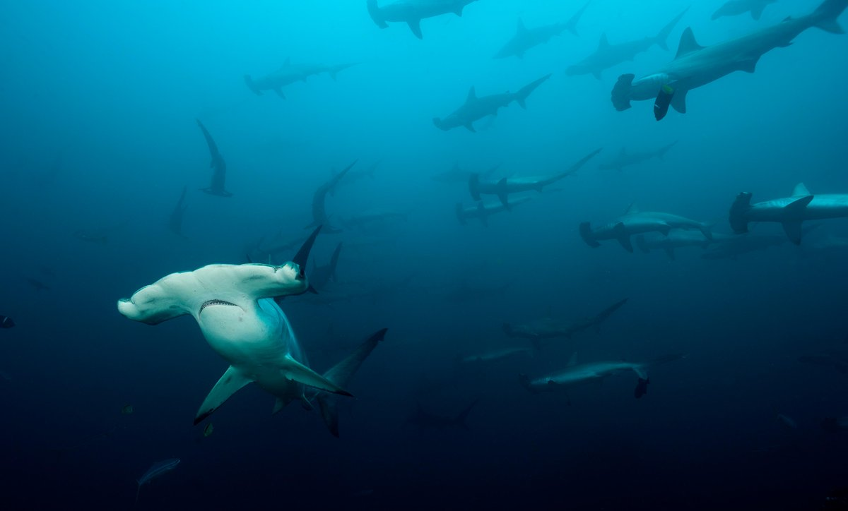 Sign the petition: STOP #hammerhead poaching in #CostaRica. http://t.co/Td7A0VqjHK @TakePart http://t.co/CHCgis2kRi @MissionBlue #Oceans