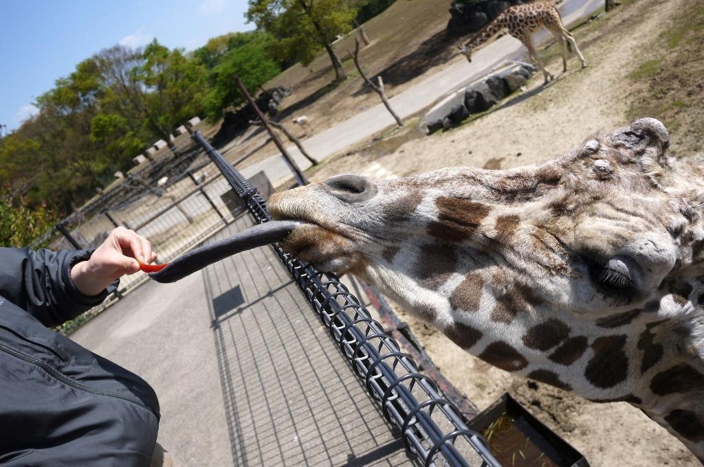 舌シリーズ第2弾!! キリンさん、首だけじゃなく、舌も長~いんです♪ #いきものウィーク  #ひみつ #動物園