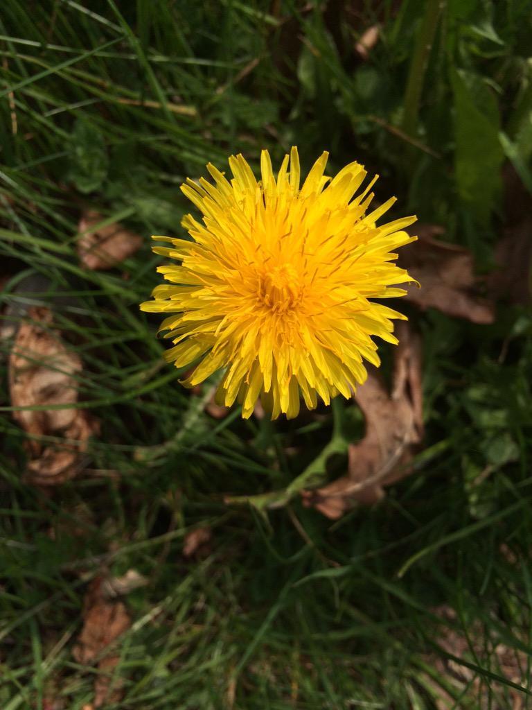 Dandelions are pretty. http://t.co/UcGc1E6Kz6