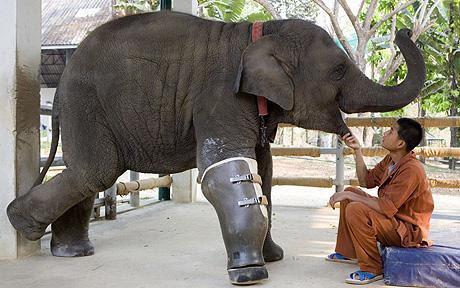 @hiranok この重さに耐えるものを作るのは大変そう。RT @6jigen タイとミャンマーの紛争地域で地雷を踏んだゾウの義足。すごい。 http://t.co/RyvXgQgw4l