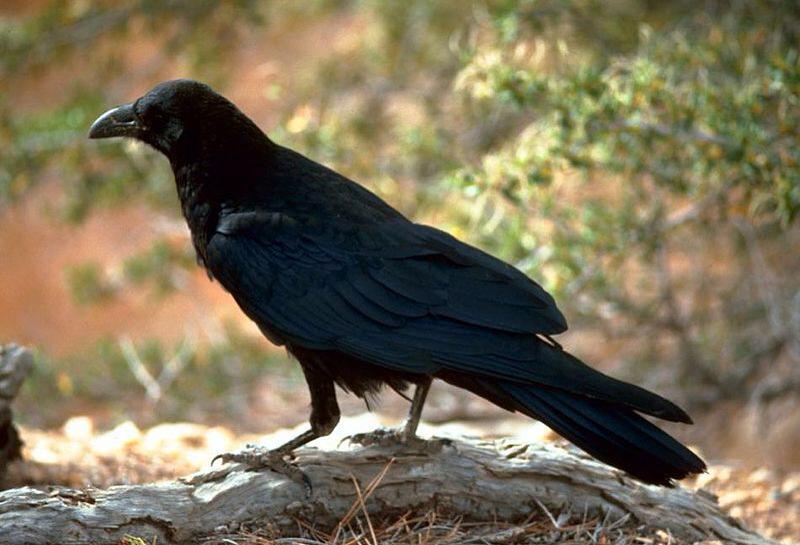 Kenapa Burung Gagak Jadi Guru Pertama Umat Manusia - AnekaNews.net