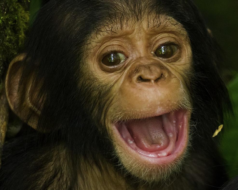 baby chimp teething | Baby chimpanzee, Cute baby animals ...