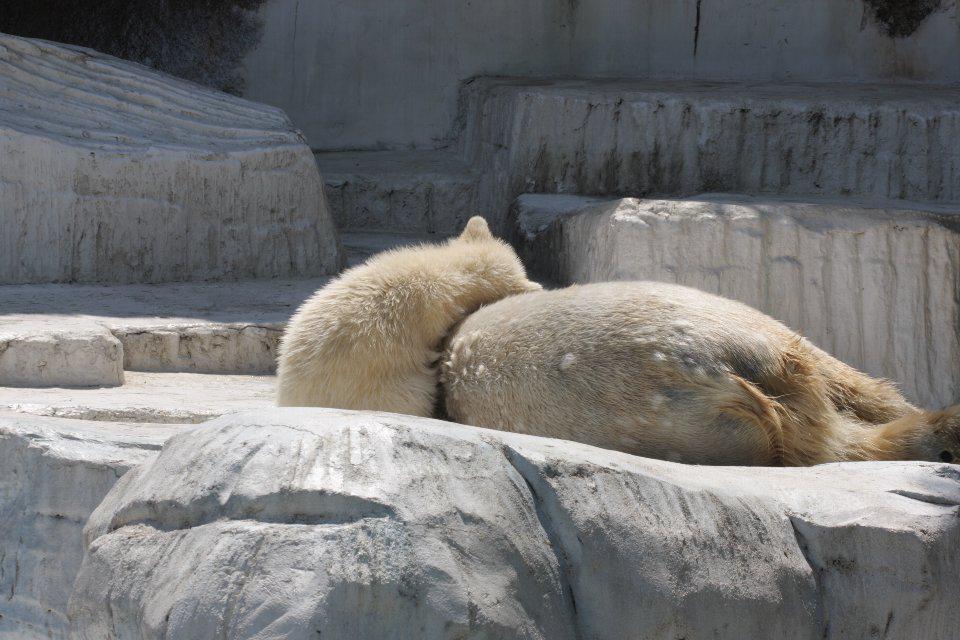 天王寺動物園のホッキョクグマバフィン母娘。 幸せな時間が流れておりました。 http://t.co/08sCRGUlP7