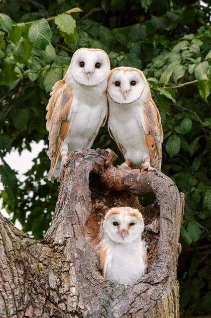 """barn owl on twitter \""""owl in the family barn owls mate for lifebarn owl"""
