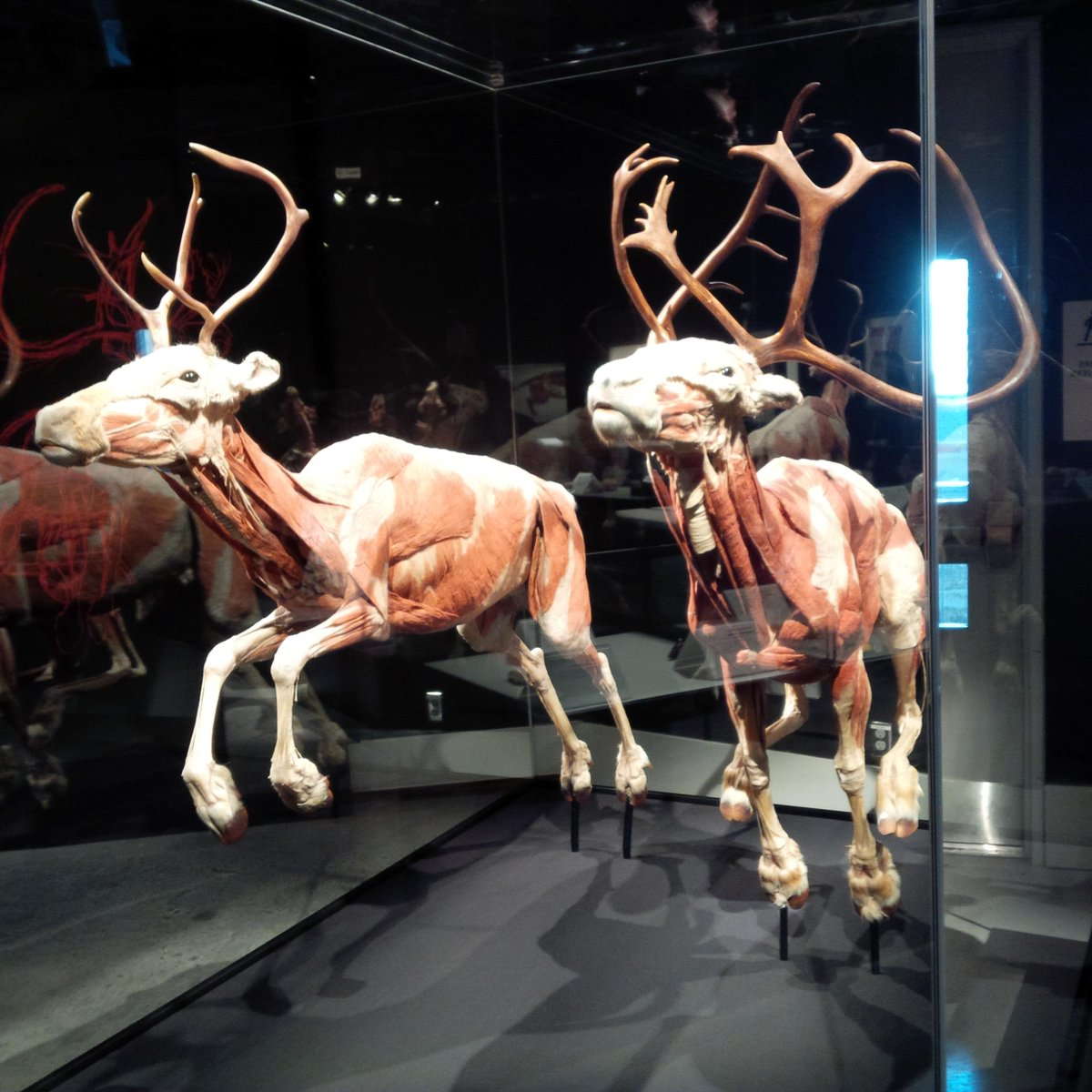 Sneak peek of some caribou at the fascinating #AnimalInsideOut exhibition @MuseumofNature. It opens May 1! http://t.co/1dIwJmjEXe