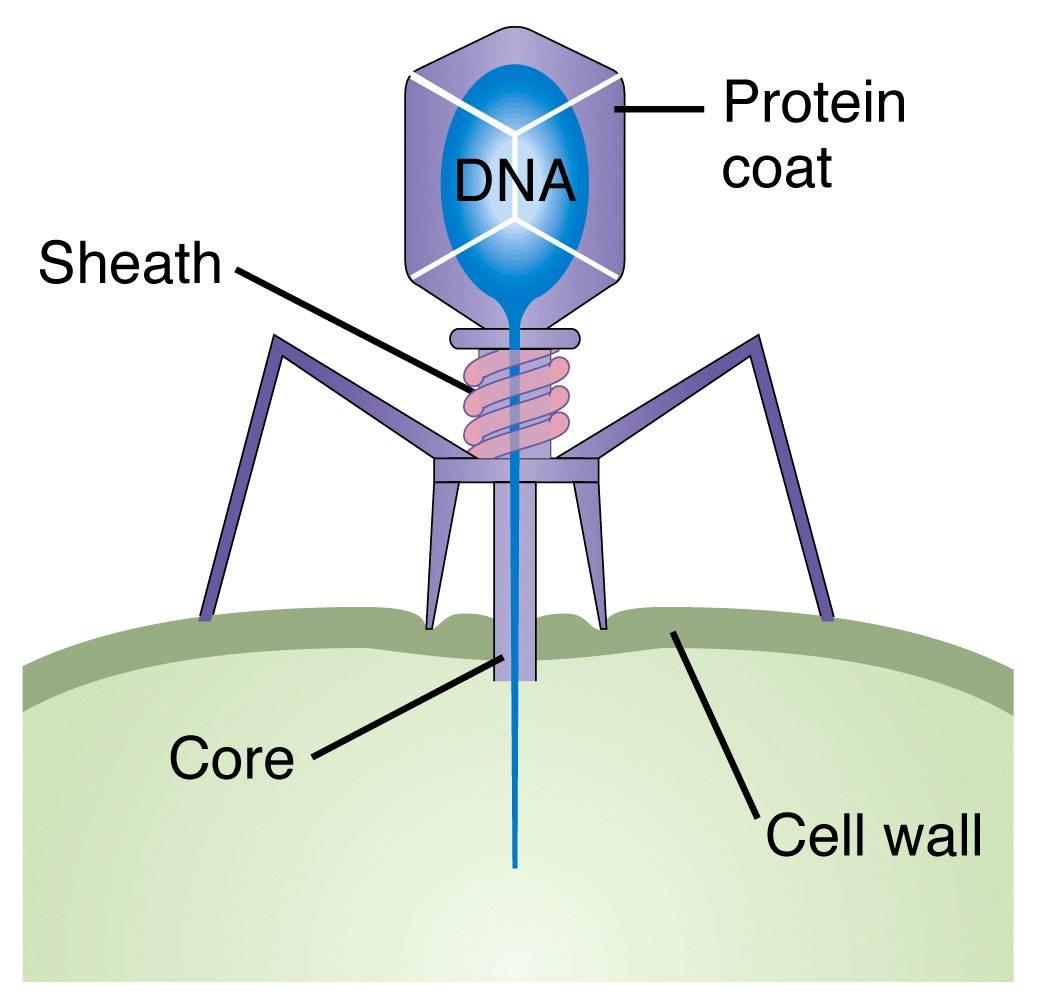 Esquema de cómo un bacteriófago inyecta su DNA a través de la pared celular en el interior de la bacteria #microMOOC http://t.co/uBjoQutQUO