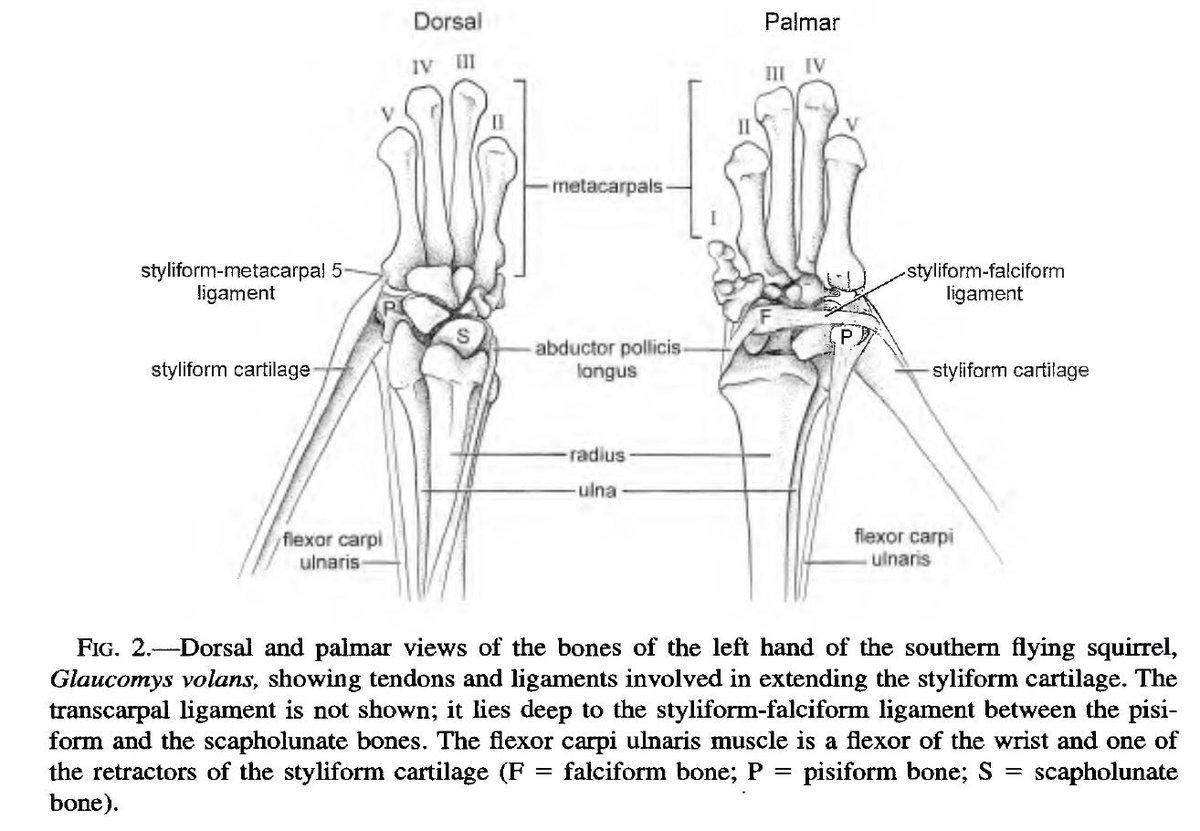 John R Hutchinson On Twitter Amazing Anatomy That Flying