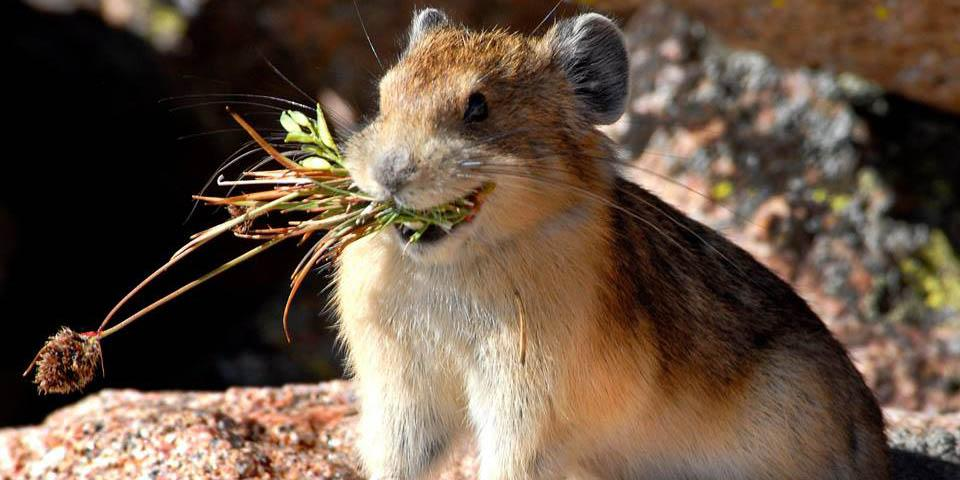 Urge Congress to support clean power, and protect wildlife like the pika from climate change http://t.co/ew5s0l6scW http://t.co/GrVxgz4HPE