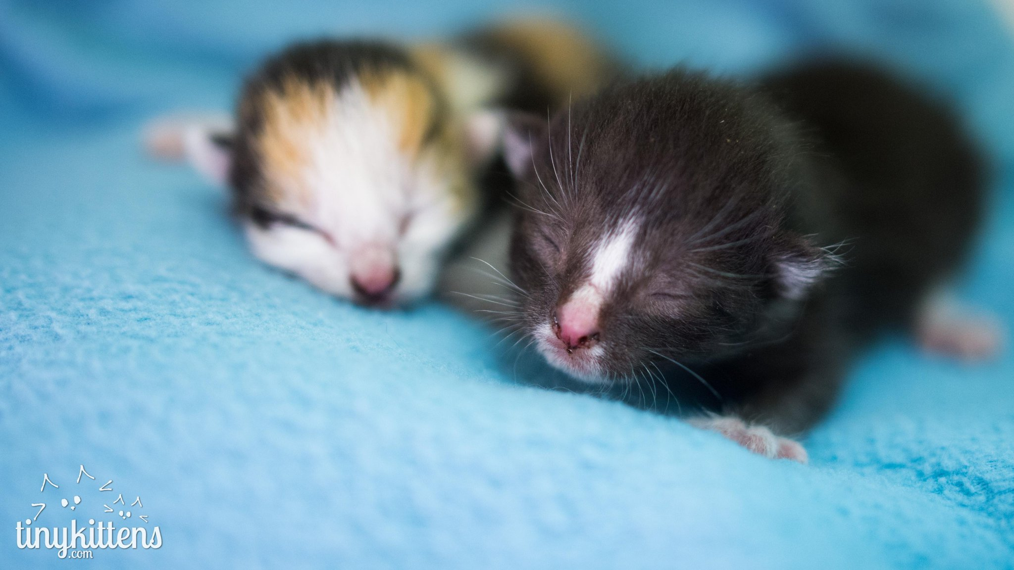 brown munchkin cat