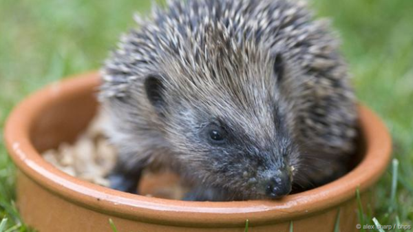 It's Hedgehog Awareness Week!  In the 1950's there were 30 million in UK; today it's under 1!  http://t.co/UsuAOYTEop http://t.co/jeIBlRLOU4