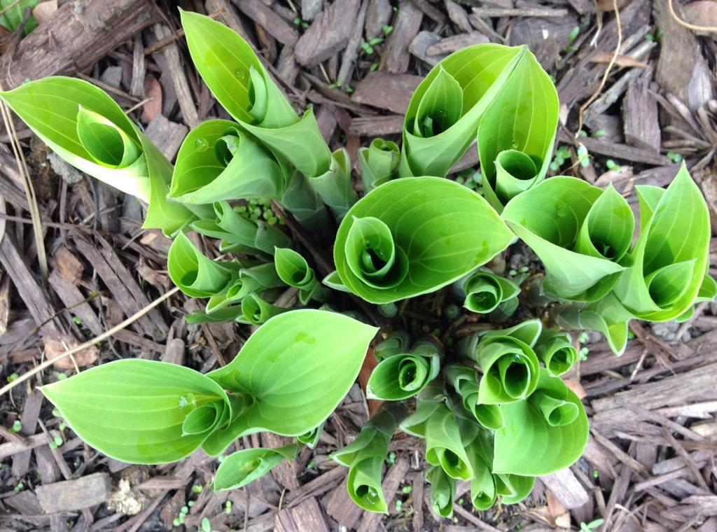 Love the look of a hosta unfurling. #gardenchat http://t.co/sKeX9LN7yd