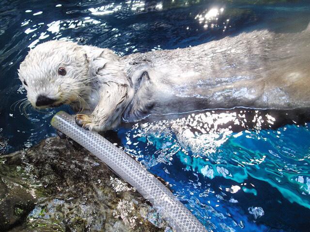 水を飲む水族館のラッコ