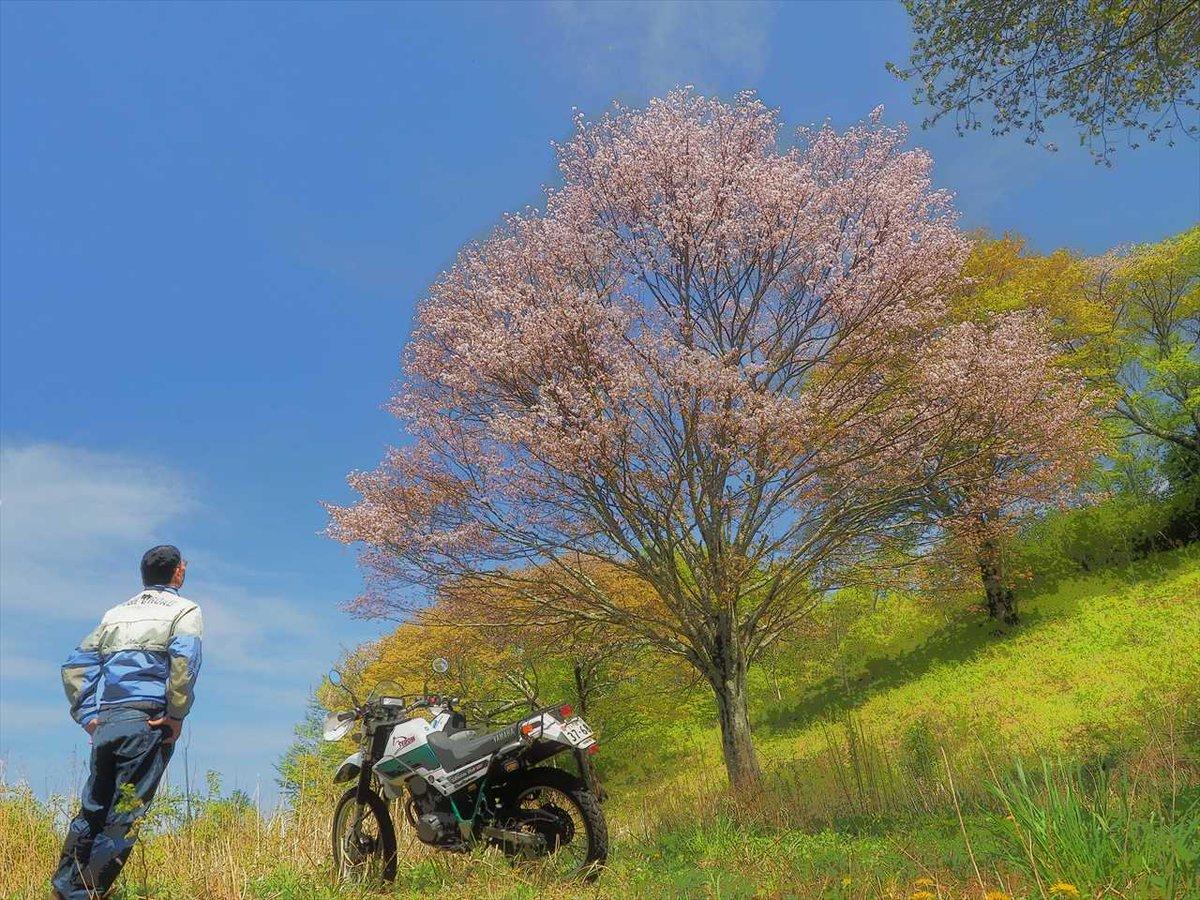 三株山の山桜
