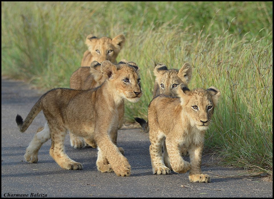 Share if this made your day...  Credit: http://t.co/gdW0eStbaA   #africa #krugerpark #lioncub #playful http://t.co/S82JiLqeoO