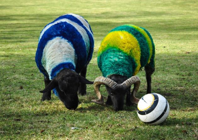 Ipswich and Norwich themed sheep rivals