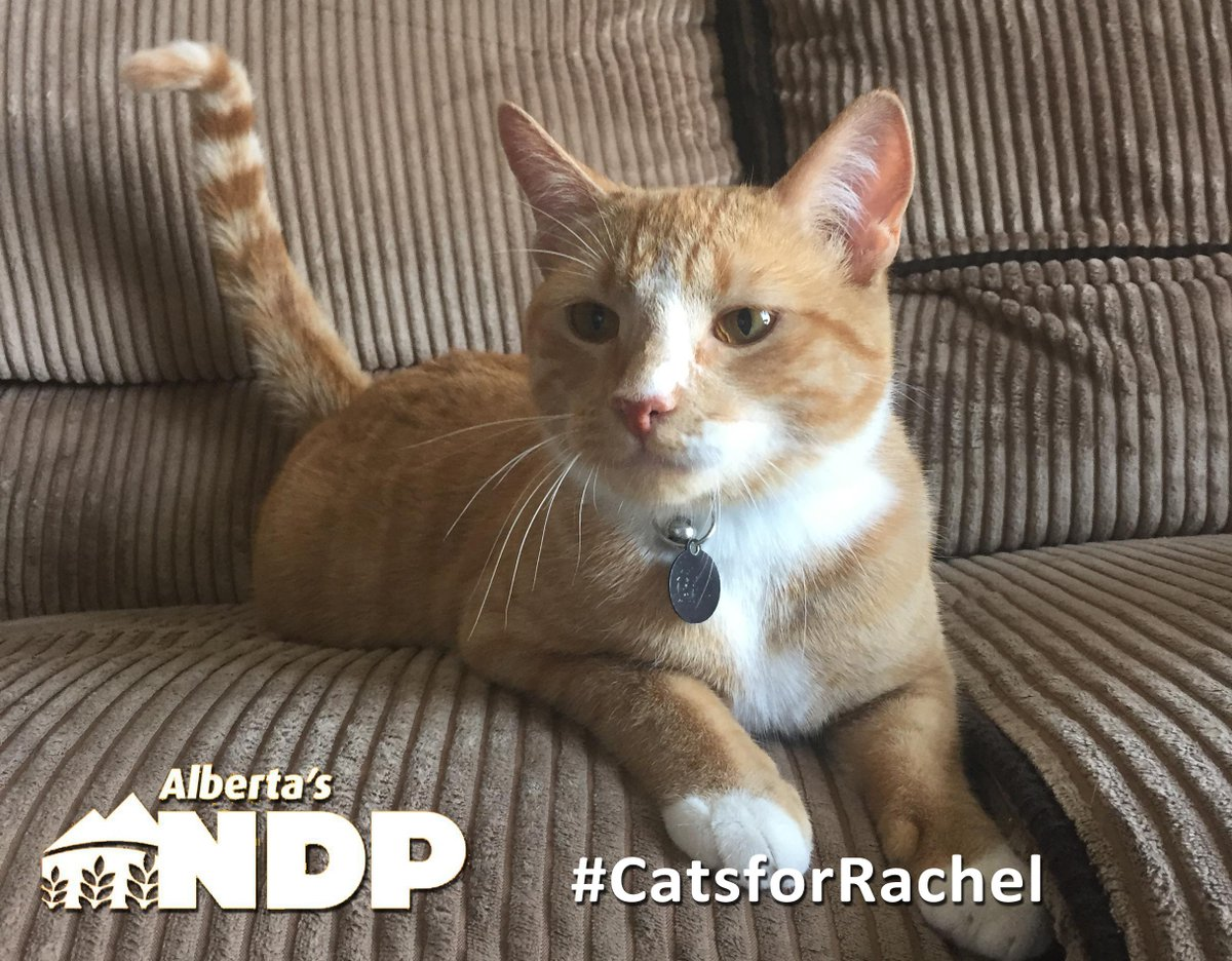 Hey @albertaNDP, don't forget, the Cats of #Alberta are with you as well, PLS RT! #CatsforRachel http://t.co/97a2UJSFND