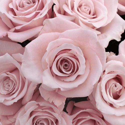 Flowers Exo On Twitter Minseok Light Pink Rose Http T Co Mymzlg10gz