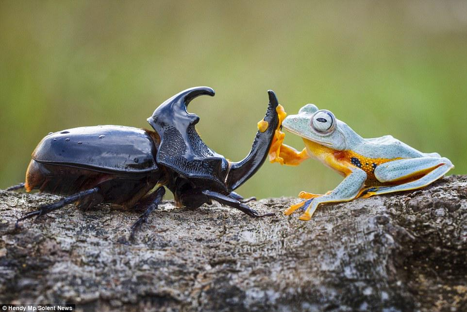 カブトムシに飛び乗ってロデオするカエル。これセットして撮ったわけではなく、インドネシアでたまたま撮れたみたい。カエルほんと楽しんでるようにみえるからすごい。 pic.twitter.com/jlBSH5XAgo
