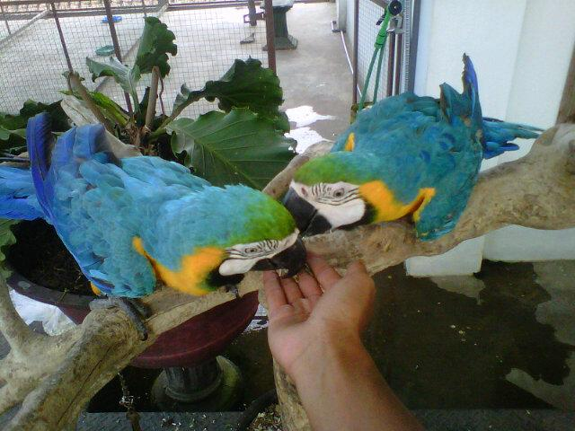 Hendryawan On Twitter Forsale Bird Macaw Bng Dnasexing For Sale Burung Macaw Pair Dna Sexing Http T Co Kwydwjvnxw
