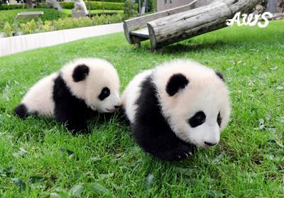 よちよち歩く赤ちゃんパンダの兄弟