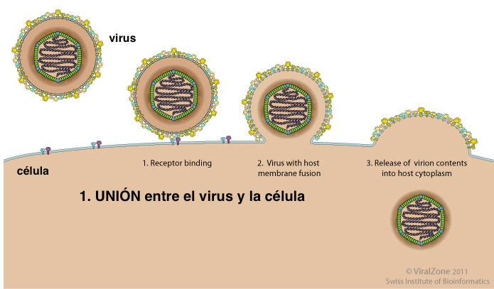 1º Unión específica del virus a la superficie de la célula (esquema) #microMOOC http://t.co/55VlCozhhJ