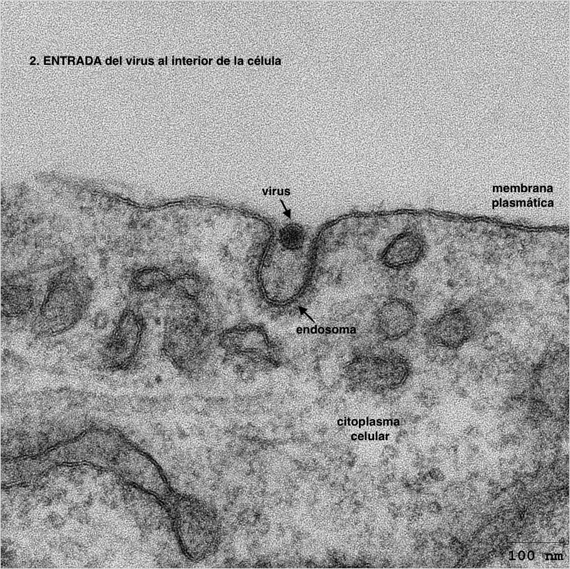 2º Entrada del virus al interior de la célula (foto)  #microMOOC http://t.co/8zkmnkr74z