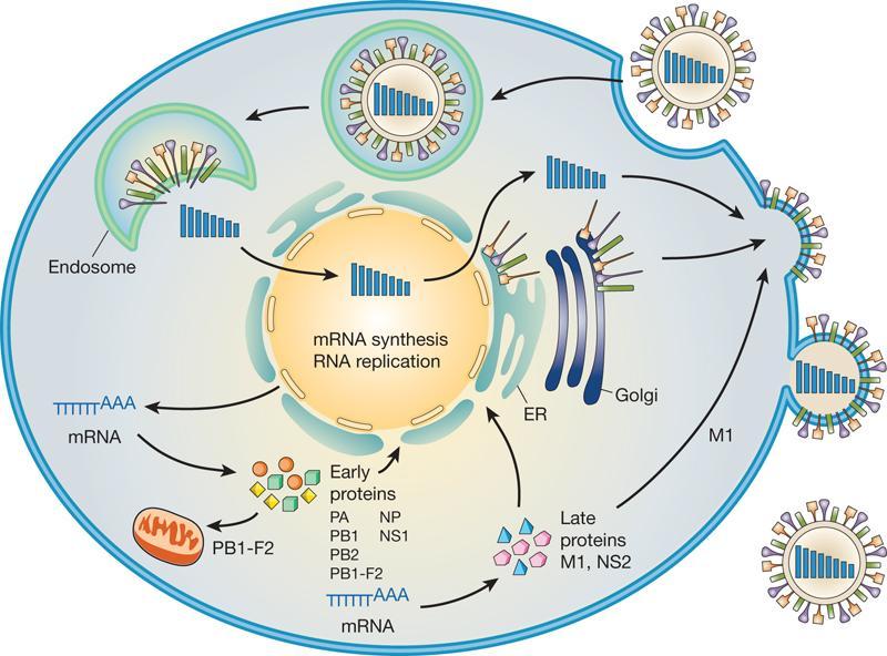 4º Se sintetizan las proteínas del virus y se replica el genoma viral #microMOOC http://t.co/3LPLT6cDPp