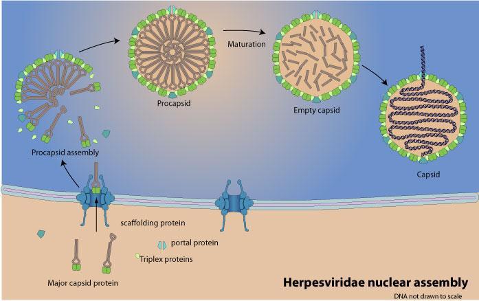 5º Ensamblaje: las proteínas forman la cápside del virus y captan el genoma viral (esquema) #microMOOC http://t.co/ZOYTBAKJoL