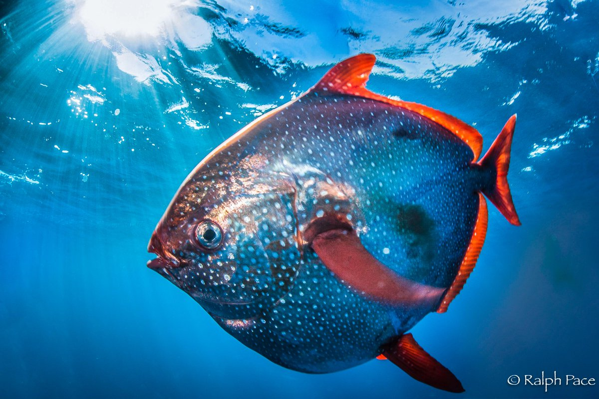 Meet the Opah, the First Warm-Blooded Fish Ever Discovered
