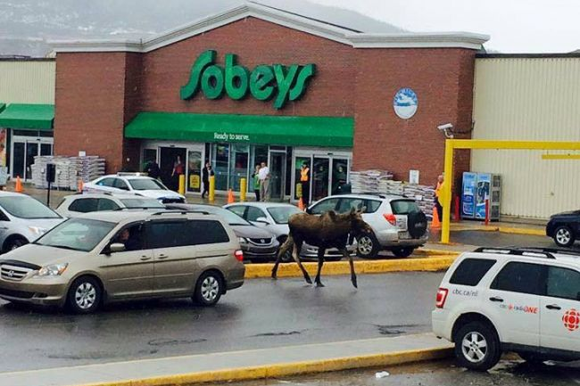 Bys, when you needs milk, @Sobeys is as good a spot as any…even for Bullwinkle! #NLmoosr #CornerBrook #NLtraffic http://t.co/m7wgxdTMag