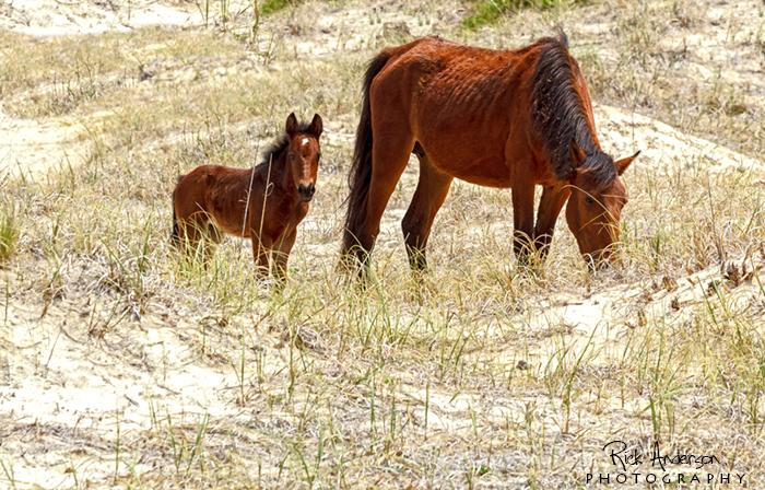 Meet Rosa born May 4th, the first foal of the year! #obx #outerbanks #scenicobx #visitnc #currituckobx http://t.co/twClCCsmQ7
