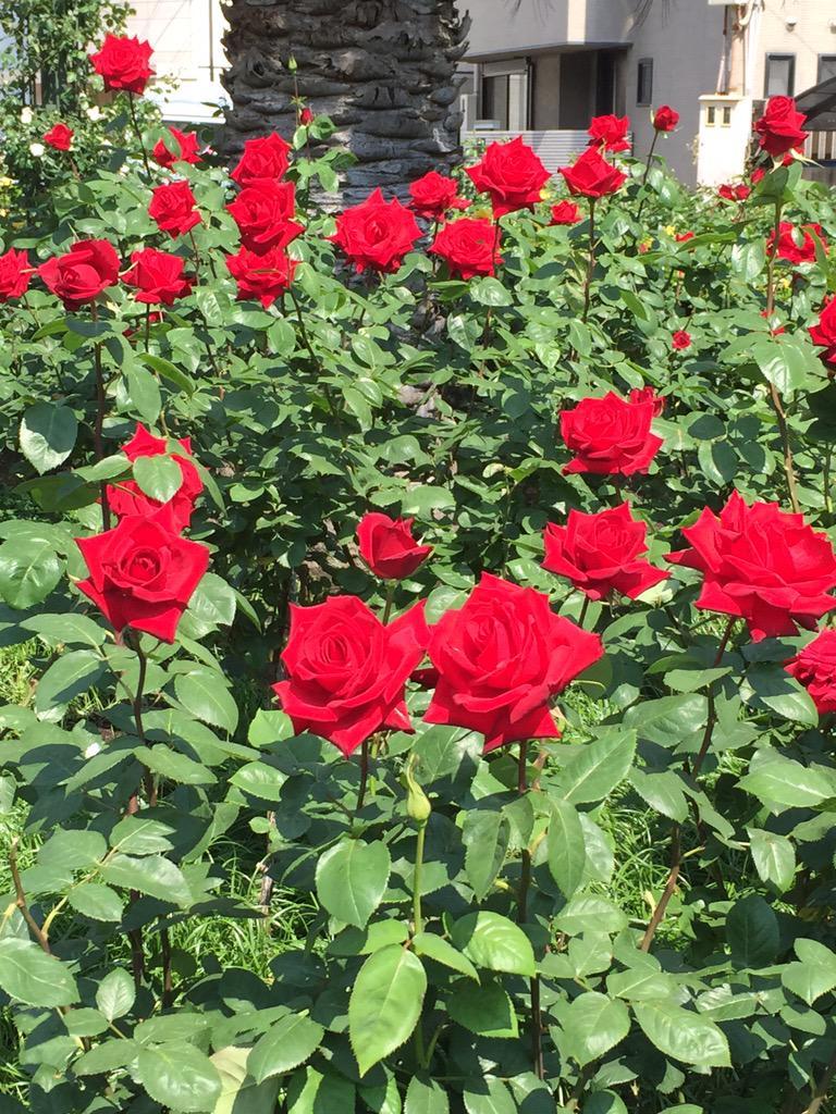 自転車で 公園を通ったら バラが綺麗に咲いていた。これから 楽しみ♪     #バラ http://t.co/I5N3tZDyjS