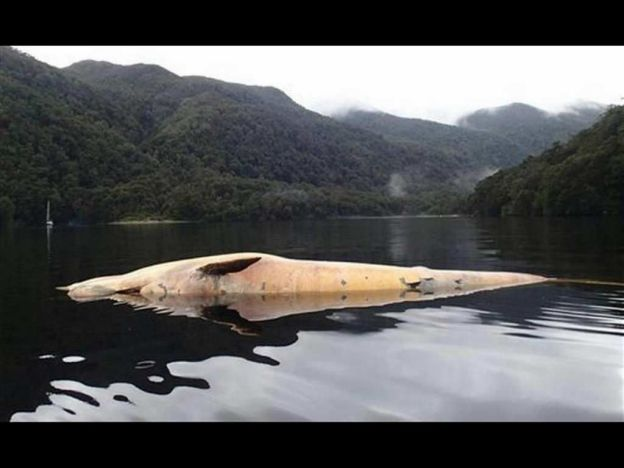 FOTO 12 balene giganti morte spiaggiate nel Golfo di Penas in Cile