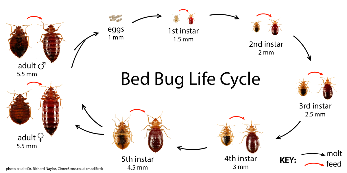 YSK how to identify bed bugs accurately. : YouShouldKnow