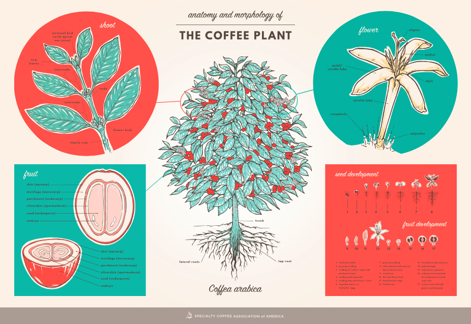 Delish poster from the crew @SpecialtyCoffee on anatomy & morphology of the coffee plant: http://t.co/R8BUNGubpc ^BB http://t.co/GS84DqjvpJ