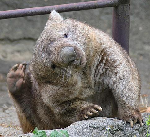 【前歯が可愛い‼︎】コアラに似てるウォンバットの高画質画像まとめ
