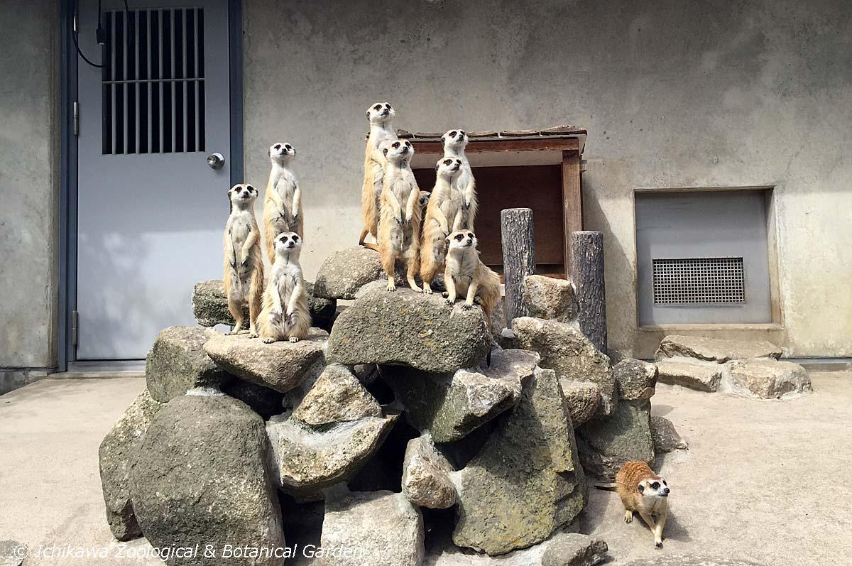 地震、大きかったですね。大丈夫でしたか? ミーアたちは一斉に岩に登ってあたりを偵察。 #市川市動植物園 #ミーアキャット pic.twitter.com/R01jrq7P48