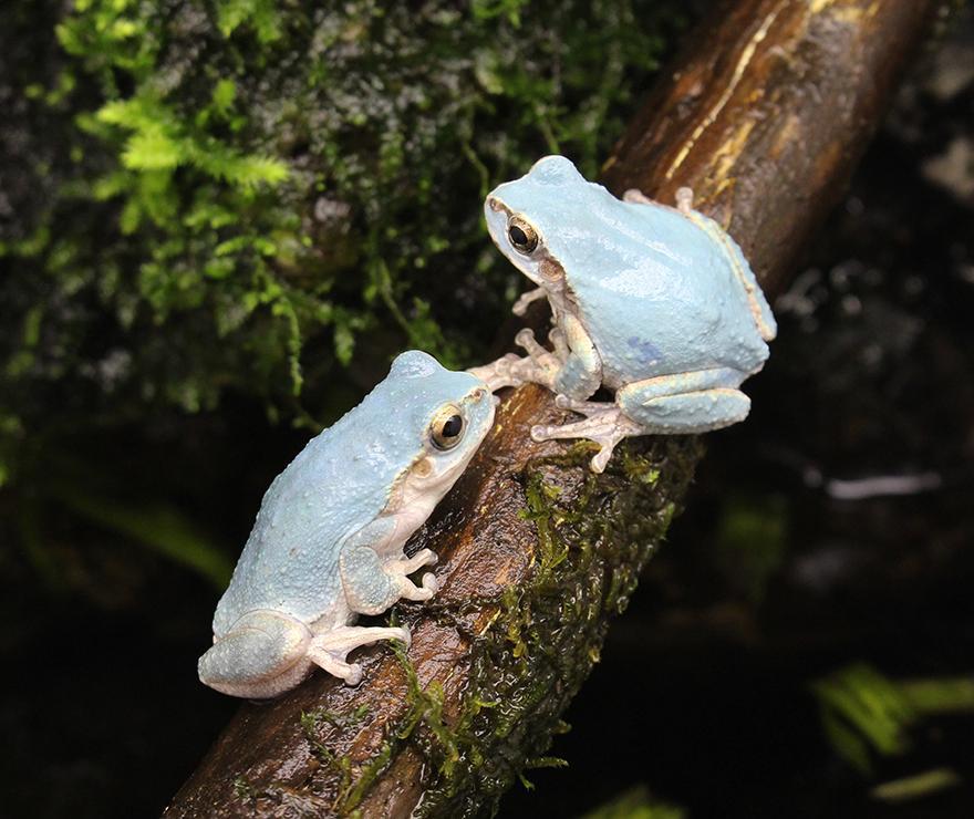 本日より展示している青いニホンアマガエルは、突然変異でこのようにきれいな青色の体をしています。淡いブルーと眼の色とのコントラストが美しい…! pic.twitter.com/W3NWeIyXxR