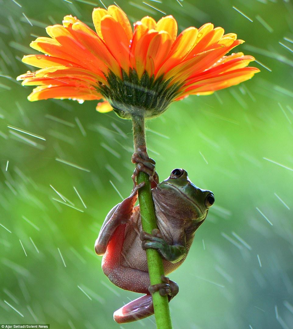 شاهد ضفدع يستخدم زهرة كمظلة تحميه من المطر