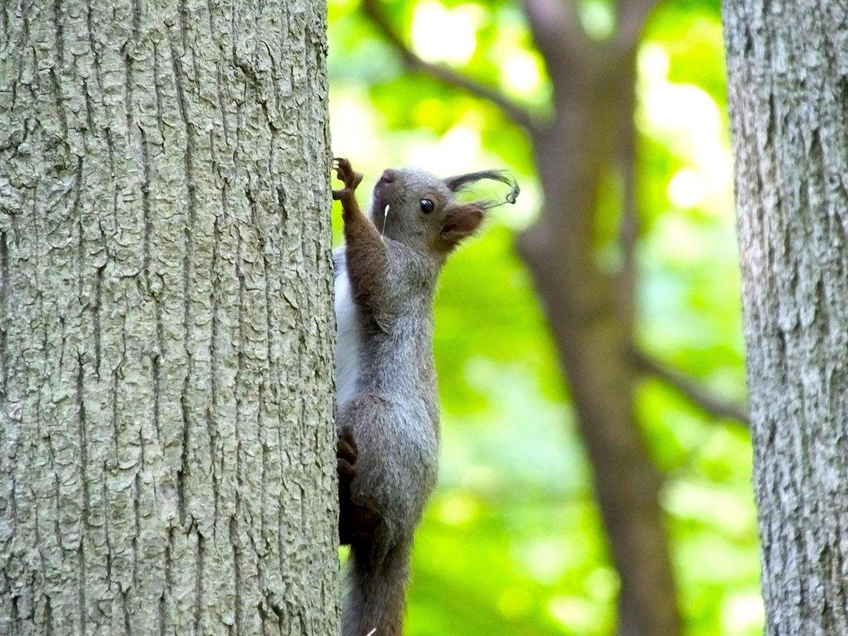 豊平公園の仔リス、一匹はこの子 耳毛が片方だけ無くなりかけてます。 兄弟同士でじゃれあって噛み取られたのかもしれませんね。全く問題は無し。