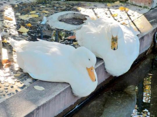 RT @Pandamoanimum: It's all very well and good when the sun is out until all the ducks start melting. http://t.co/eax2rJhyMp