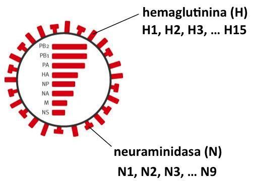 Las hemaglutininas (H) y neuraminidasas (N) son glicoproteínas de la envoltura  del virus de la gripe #microMOOC http://t.co/4WYb6fjIVx
