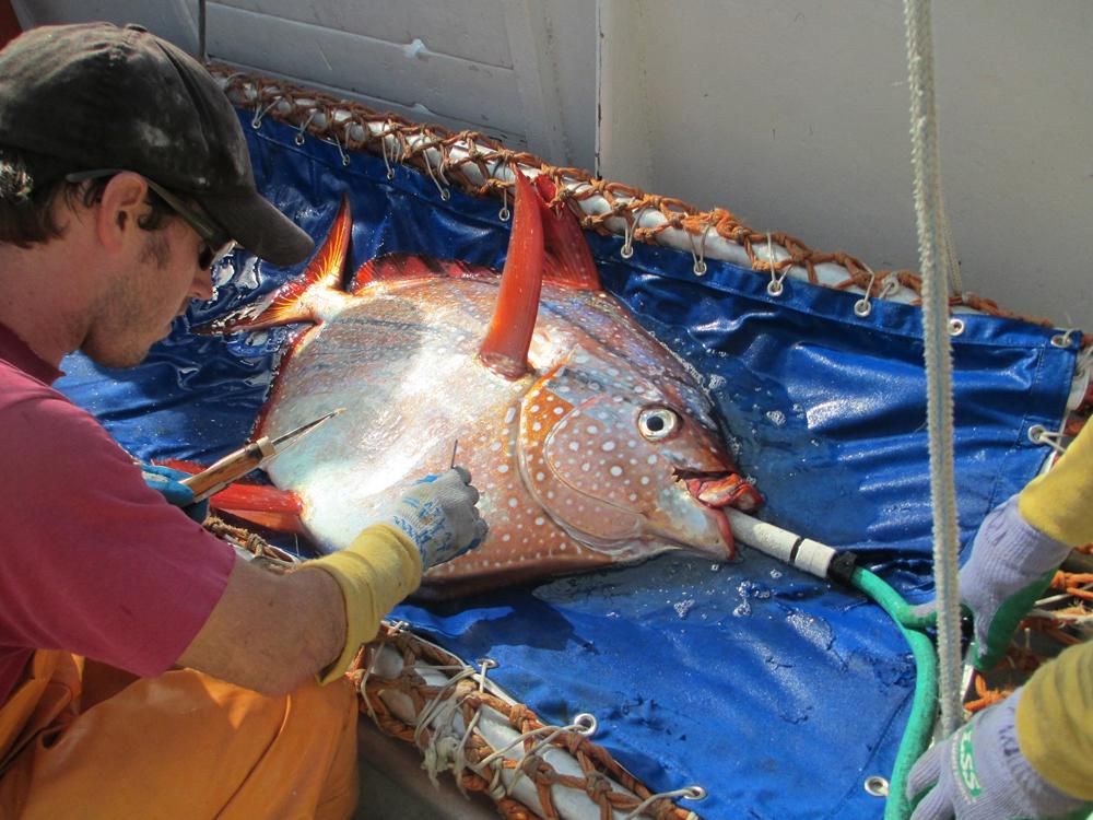 アカマンボウが哺乳類や鳥類と同じ温血動物だったことが判明。温血の魚類発見は初livescience.com/50836-warm-blo…アカマンボウに温度センサーと衛星探知機を取りつけ、8ヵ月間動きや生息地の環境を調査した結果明らかに pic.twitter.com/vVf4b8zJyx