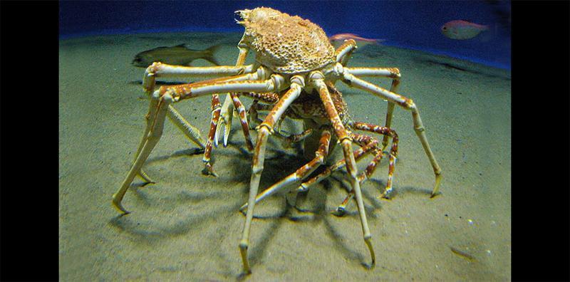 これが交尾前ガードだ!タカアシガニは未成熟なメスをこうして確保し、交尾できるまで独り占めします。#葛西臨海水族園  #壁ドン pic.twitter.com/7cRBlu47rL