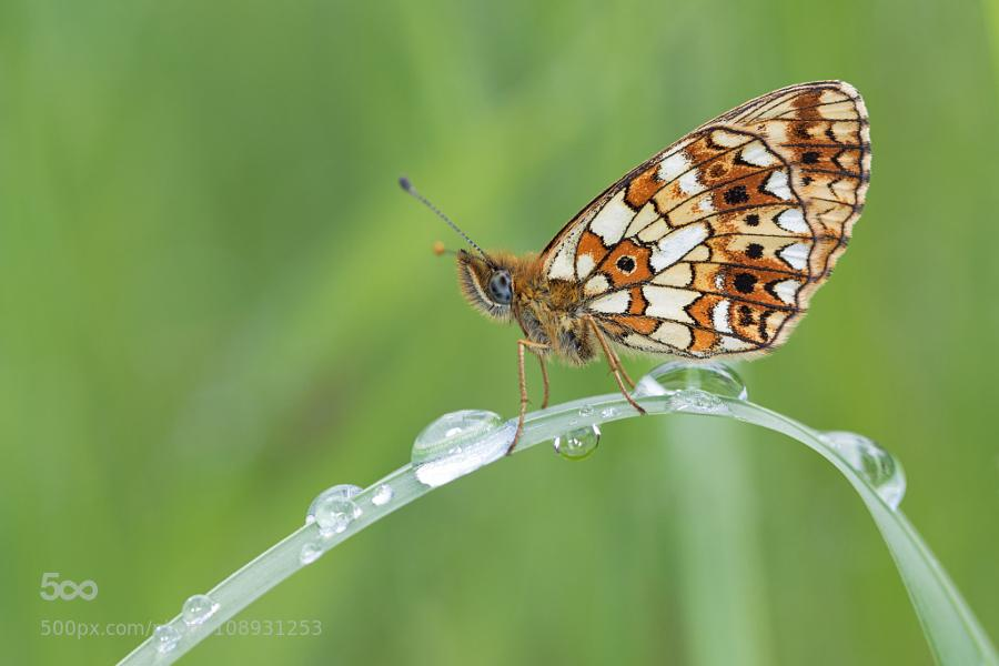 Boloria selene by ... - http://t.co/h6Tgwhboo0 #Animal #Argynnini #BoloriaSelene #Butterfly #ClossianaSelene http://t.co/8GJjX9js6h